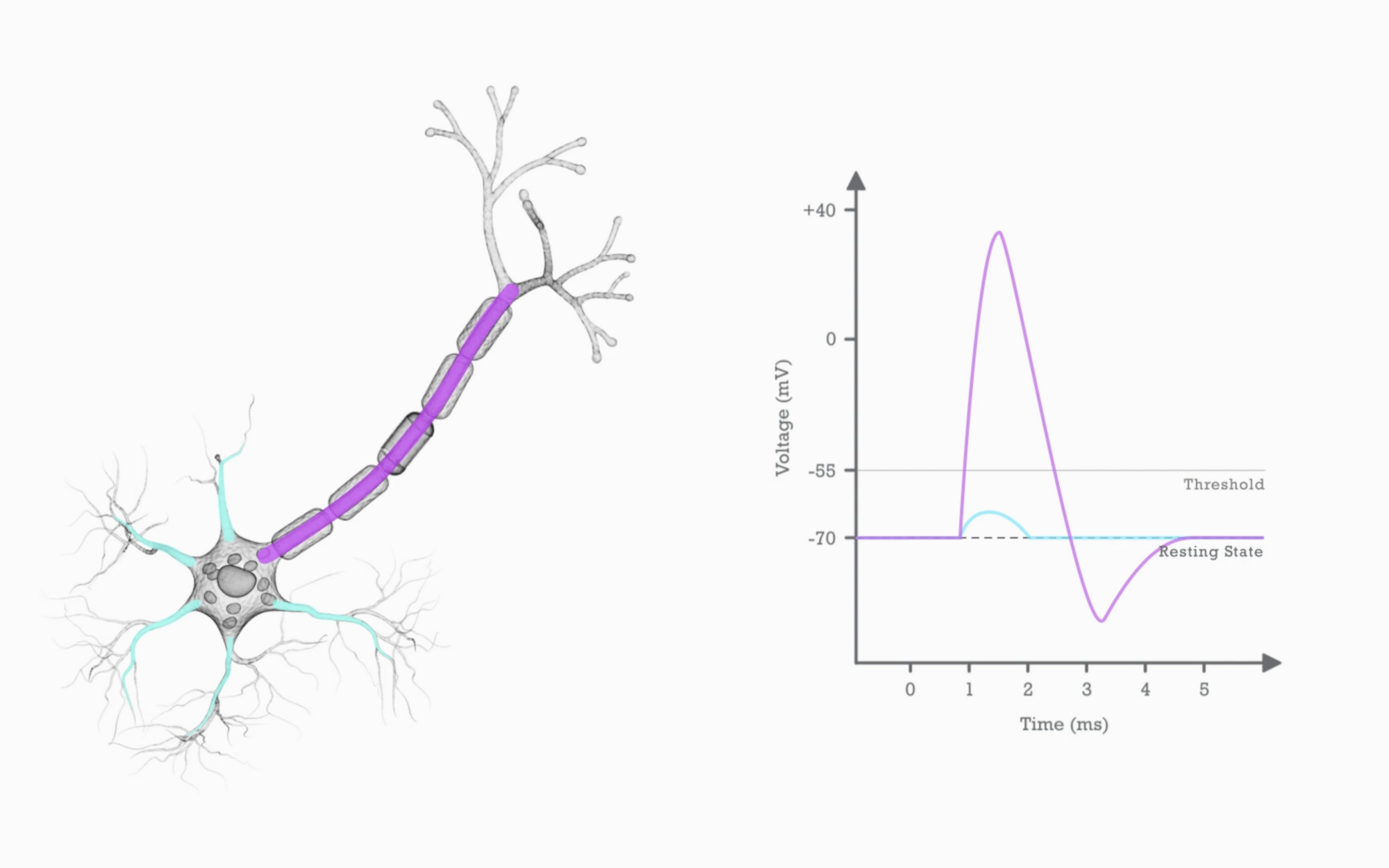 action_potential_7dcc260632.png